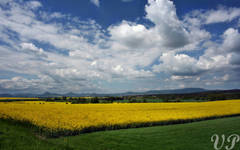 Canola fields in Central Bohemia