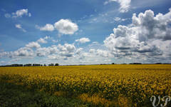 Canola fields...